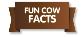 Fun cow facts